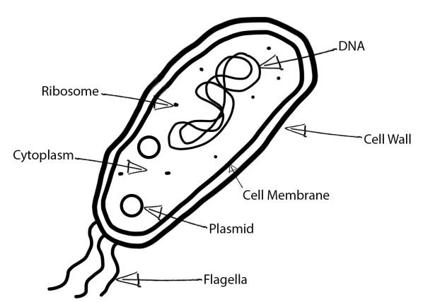 Bacteria Cell lb.jpg